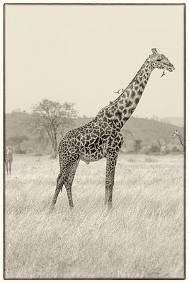 Giraffe No.5  Tanzania 2019:  Photographer Neil Emmerson
