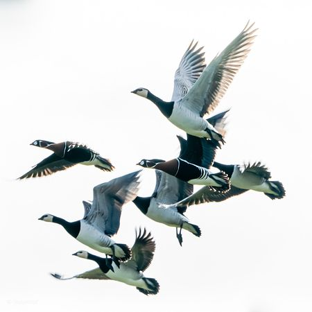 Barnacle geese and two red-breasted geese in flight
