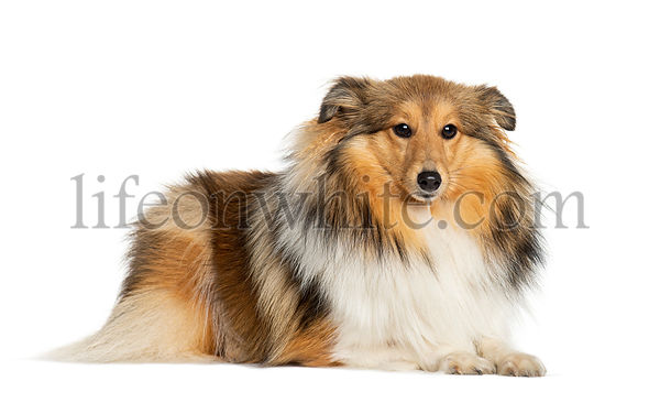 Lying Shetland Sheepdog lying down, isolated on white