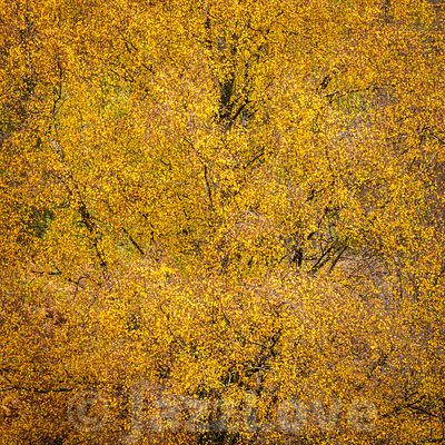 Close up of tree with yellow leaves in autumn.