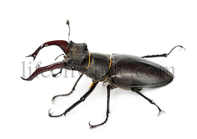 Male stag beetle, Lucanus cervus against white background