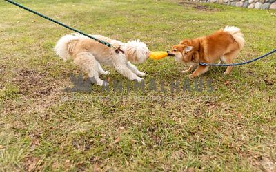 Two small breed dogs playing tug of war with toy