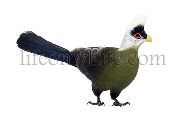 White-crested turaco, Tauraco leucolophus standing against white background