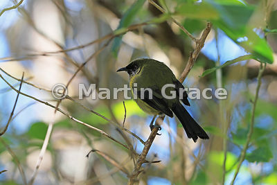Bellbird (Anthornis melanura), Tiritiri Matangi, Hauraki Gulf, Auckland, North Island, New Zealand