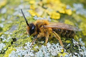 Closeup of the male of the Grey gastered Mining Bee, Andrena tibialis on a lichen covered piece of wood