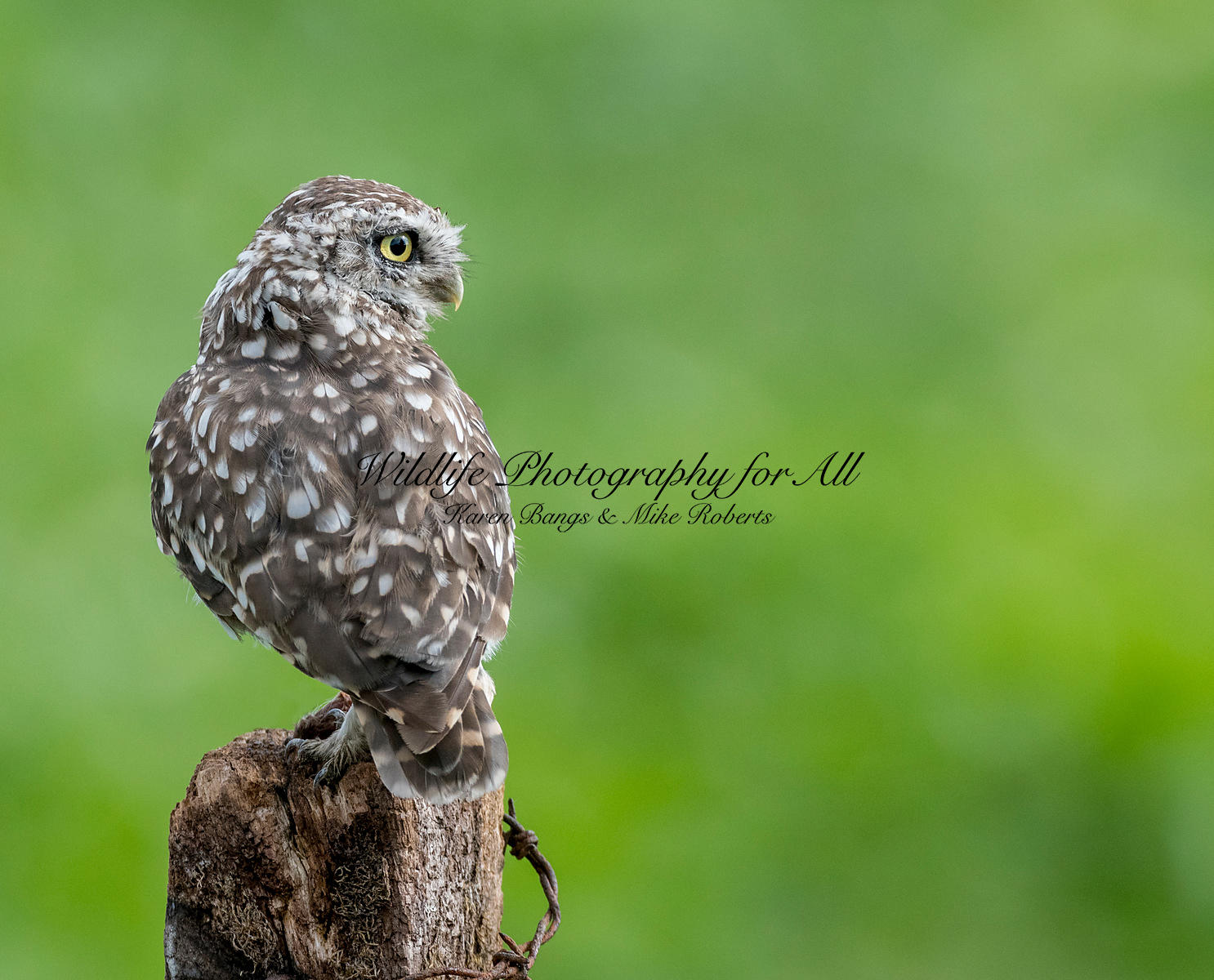 Male Little Owl - Mike Roberts