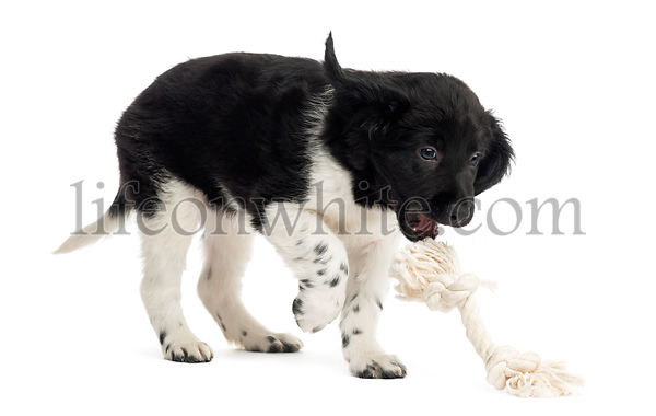 Stabyhoun puppy playing with a rope toy, isolated on white