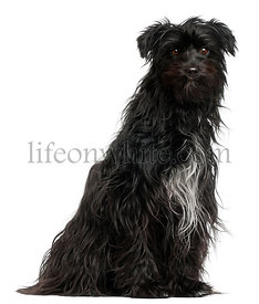 Pyrenean Shepherd, 15 months old, in front of white background