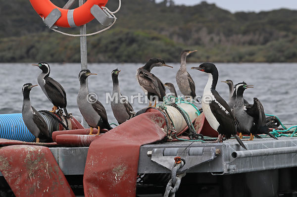 Single (larger) pied morph of Stewart Island Shag (Leucocarbo chalconotus) with Spotted Shags (Stictocarbo punctatus), standi...