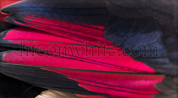 Close up of White-crested turacos, Tauraco leucolophus, wing