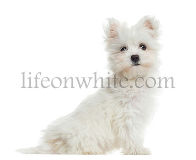 Side view of Maltese puppy sitting, looking at the camera, 2 months old, isolated on white