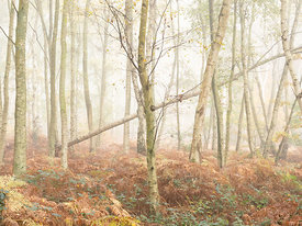 Silver Birch and Fog