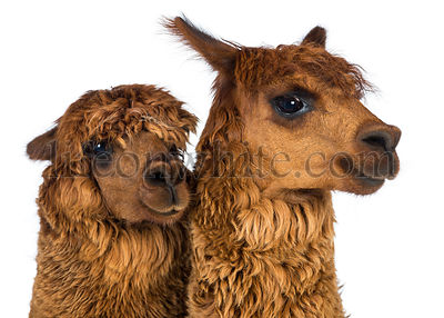 Close-up of Alpacas looking away against white background