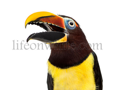 Green aracari opening his beak isolated on white