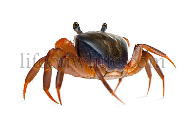 Rear view of Patriot crab, Cardisoma armatum, in front of white background