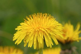 Close up of a Taraxacum officinale or common dandelion