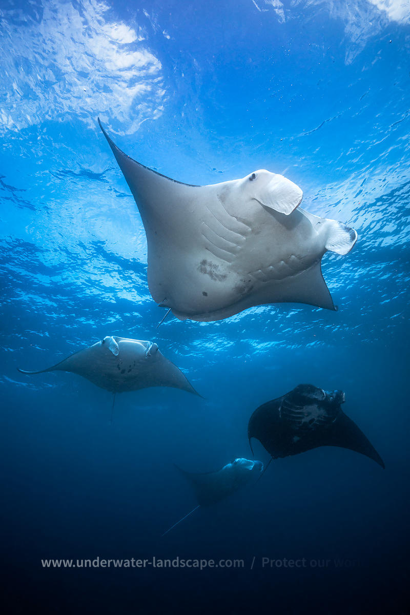 Flight of Mantas rays