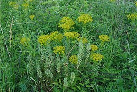 Cipreswolfsmelk - Euphorbia cyparissias
