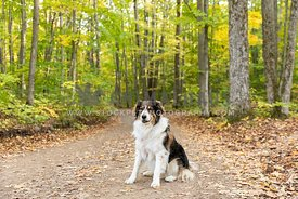 An English shepherd dog on an autumn trail