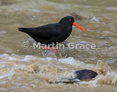 Dark morph Variable Oystercatcher (Black Oystercatcher) (Haematopus unicolor) standing in a small foaming wave at the edge of...