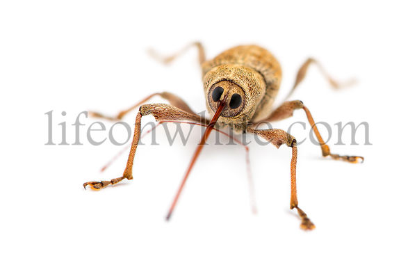 Acorn weevil facing, Curculio glandium, isolated on white