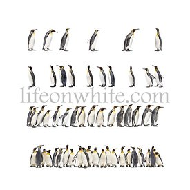 Colony of many king penguins together, isolated on white