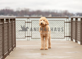 A golden doodle on a boardwalk