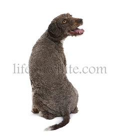 back view of a Spanish water spaniel dog, 3 years old, sitting in front of white background