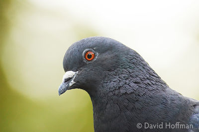 Feral pigeon, London.