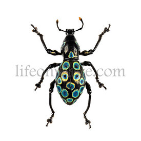 Beetle Pacchyrrhynchus congestus, isolated on white