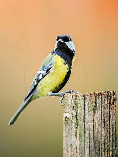 Mésange charbonnière – Great tit (Parus major)