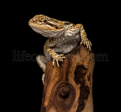 Bearded Dragon on black background