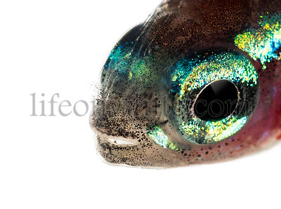 Close up of a cardinal tetra isolated on white