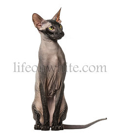 Peterbald, naked cat sitting, isolated on white