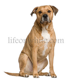 Mixed American Staffordshire Terrier, 6 years old, sitting