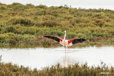 Flamingo in Camargue France
