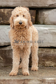 A golden doodle standing in front of a stone wall