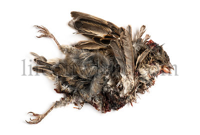 Dead roadkill House Sparrow in state of decomposition, Passer domesticus, isolated on white