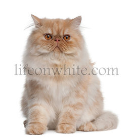 Persian Cat, 1 year old, sitting in front of white background