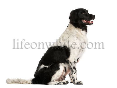 Side view of a Stabyhoun sitting, panting, isolated on white