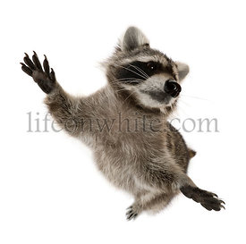 Raccoon standing on hind legs in front of white background