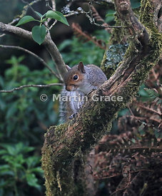 Grey Squirrel (Sciurus carolinensis) in an old garden lilac tree (Syringa sp), Lake District National Park, Cumbria, England