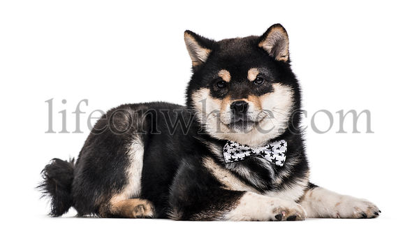 Shiba Inu puppy , 4.5 months old, lying against white background