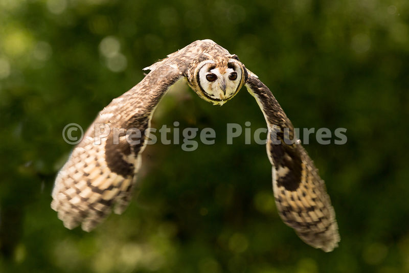 Peruvian Striped Owl in Flight