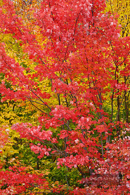 Red maple in autumn colours (lat. acer rubrum) - North America, Canada, Ontario, Nipissing, Algonquin Provincial Park, Highwa...
