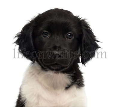 Close-up of a Stabyhoun puppy facing, looking at the camera, isolated on white