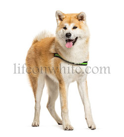 Panting Akita Inu standing in front of a white background