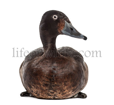 Baer's pochard diving duck, isolated on white