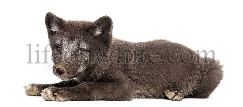 Arctic fox cub, Vulpes lagopus lying down, 2 months old, isolated on white