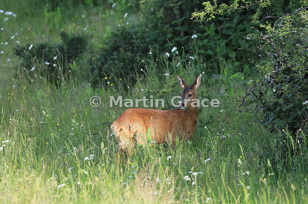 Roe Deer doe (Capreolus capreolus) looking over her shoulder, in golden evening sunlight in a South Lakeland grazing meadow, ...